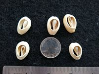 Over 3500 years old Chinese ancient shell coins 100% REAL